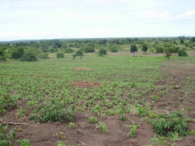 Maize, Beans, Cassava, and Peanuts Beginning to Grow