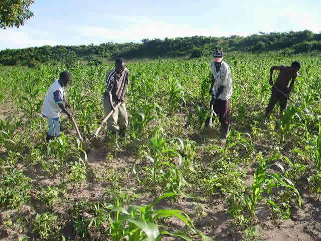 Four Workers Weeding the Crops
