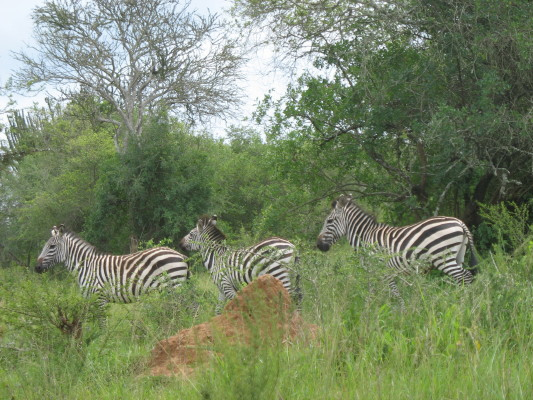 Three Zebras by the Roadside in Park