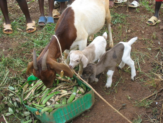Mamma Goat the Two Babies