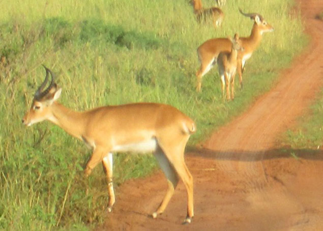 Ugandan Kob in Murchison Falls National Park