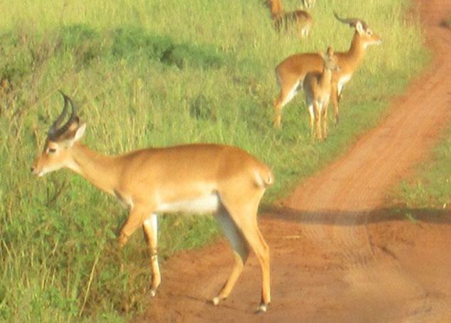 Ugandan Kob in Murchison Falls National Park