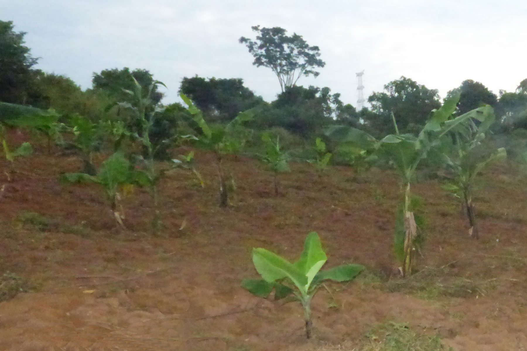 Banana Trees Growing on the EWCV Property