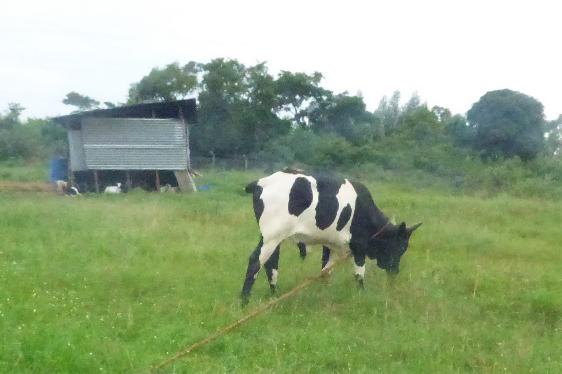 EWCV's Cow Grazing