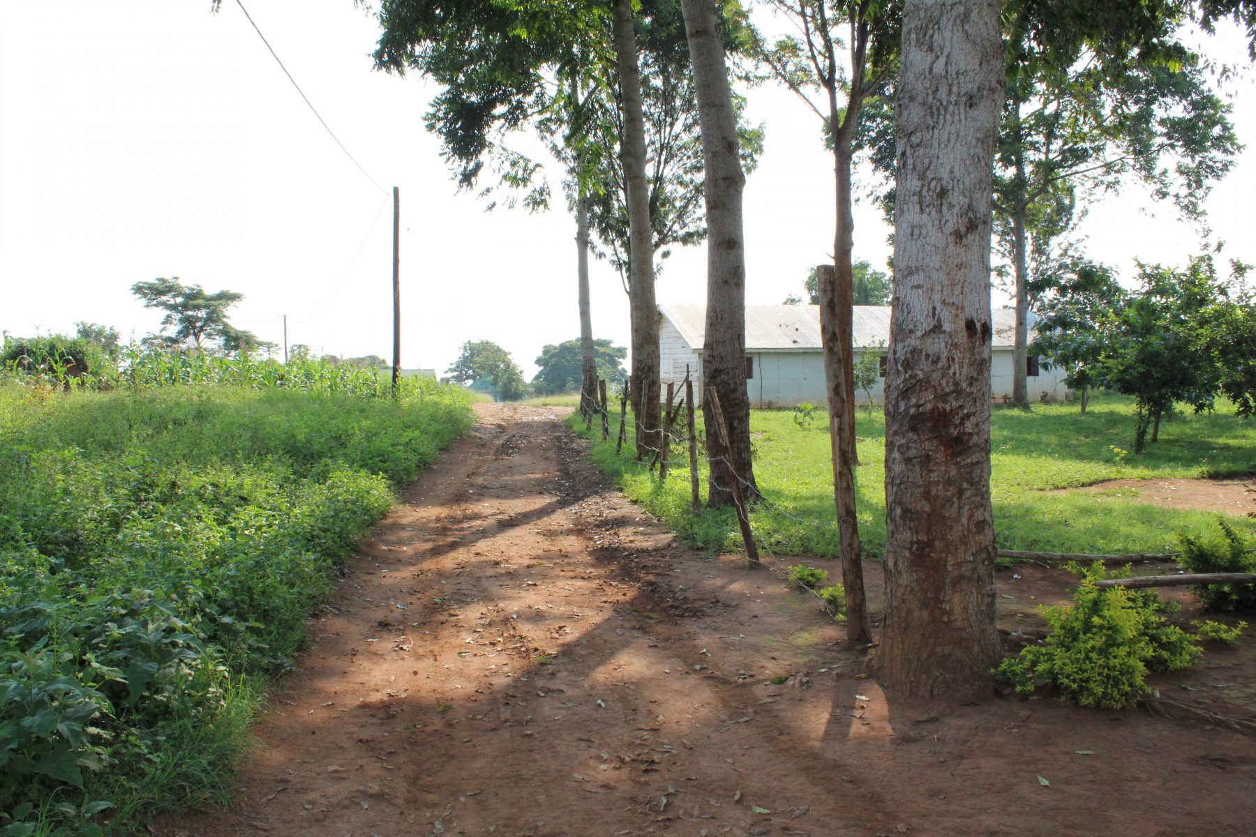 A Road on the EWCV Property, Bordered by Crops and Tall Trees