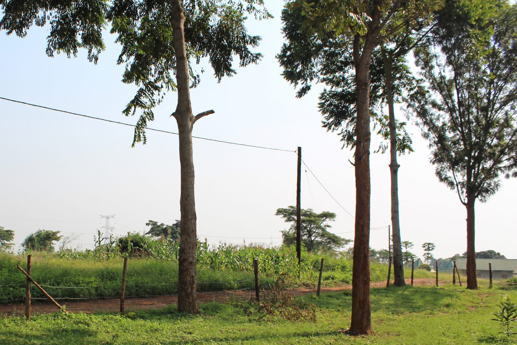 Tall Trees, Road, and Maize Crop Seen from the Church Doorway